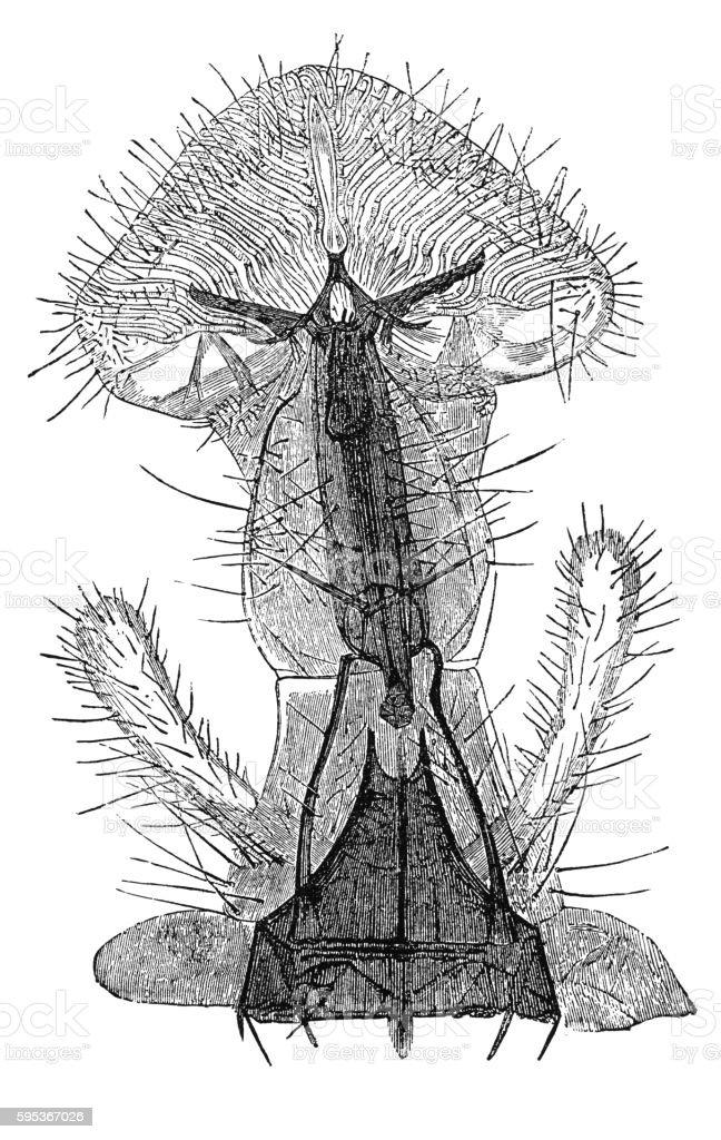 Proboscis of fly under microscope (antique engraving) vector art illustration