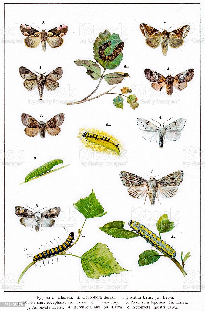 Promonents and dagger moths of Europe vector art illustration