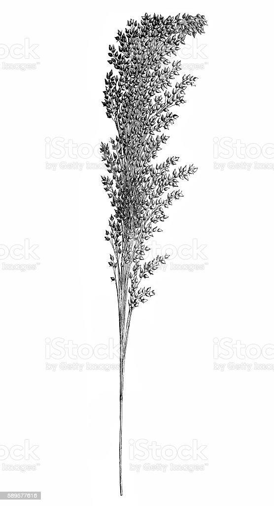 Proso millet (Panicum miliaceum) vector art illustration