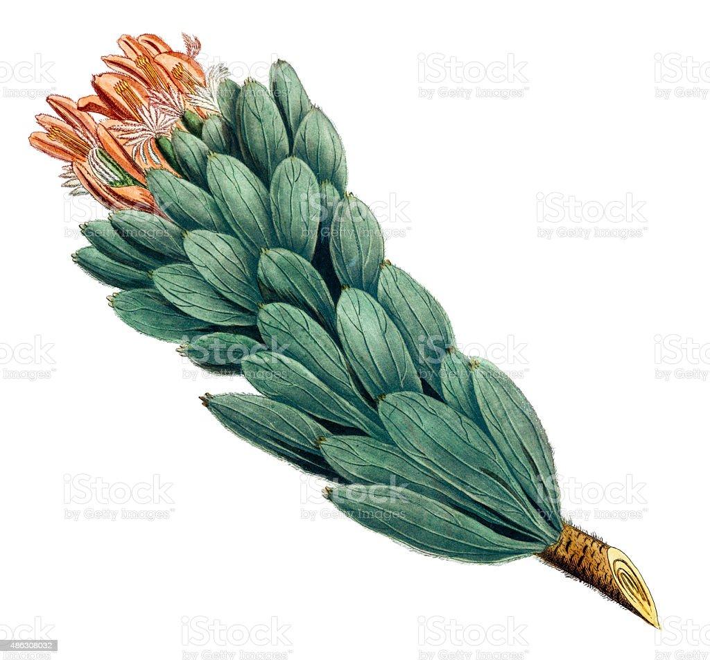 Protea plant, a 18th century botanical illustration vector art illustration