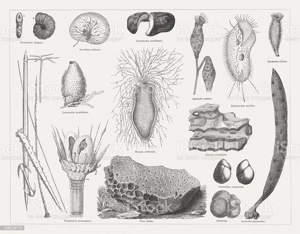 Protozoa, published in 1878 vector art illustration