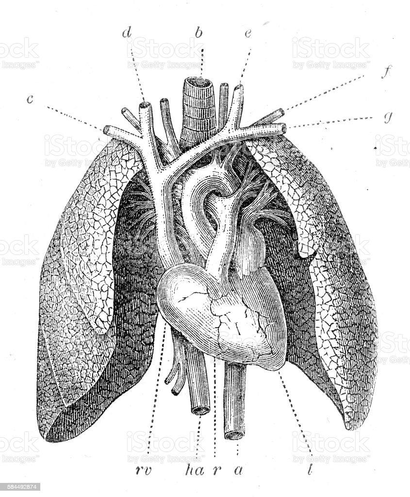 Pulmonary artery engraving 1899 vector art illustration