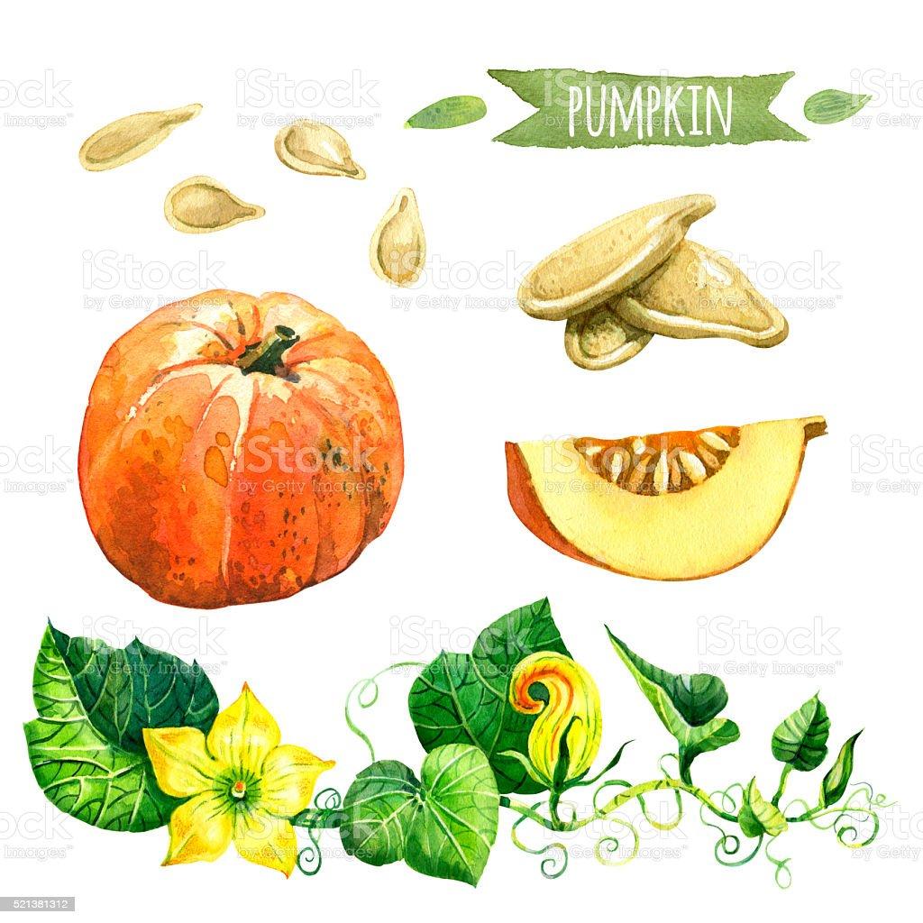 Pumpkin, hand-painted watercolor set, vector art illustration