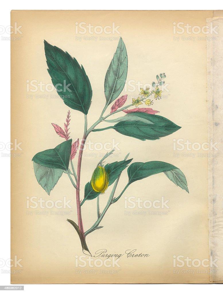 Purging Croton, Bromeliad, Victorian Botanical Illustration vector art illustration