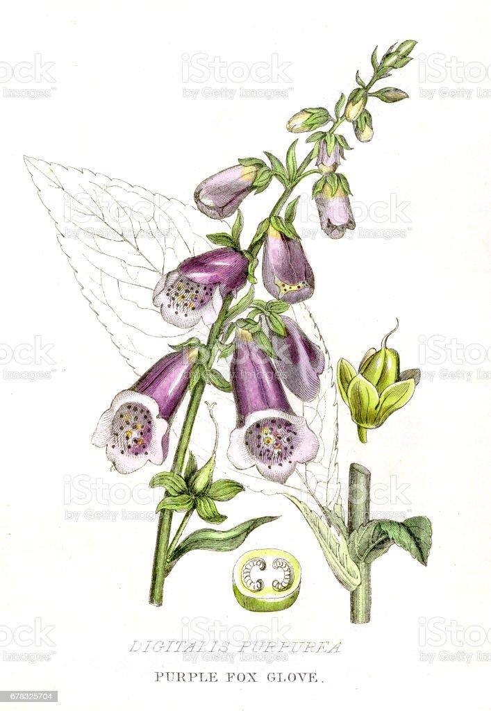 Purple fox glove botanical engraving 1857 vector art illustration