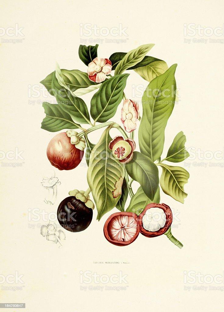 Purple mangosteen | Antique Plant Illustrations vector art illustration