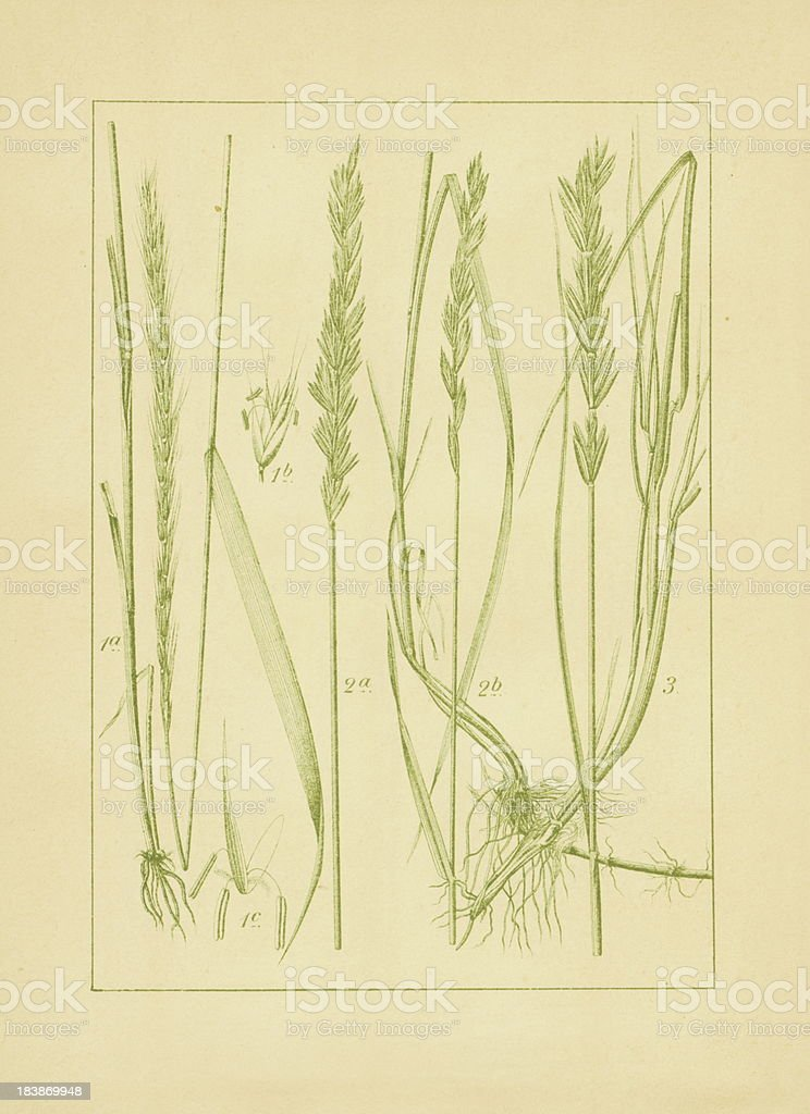 'Quackgrass, bearded and rushy wheatgrass' vector art illustration