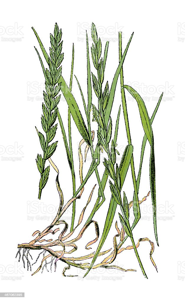 Quackgrass vector art illustration