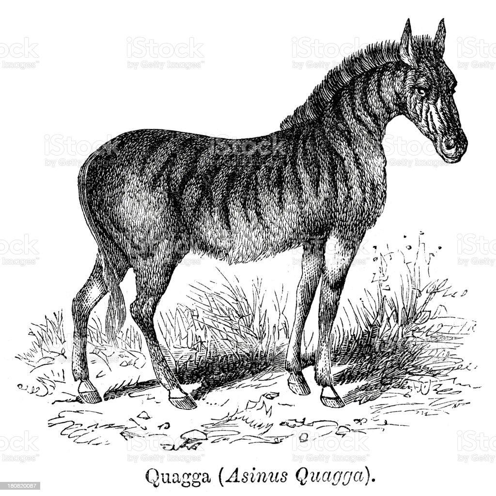 Quagga vector art illustration