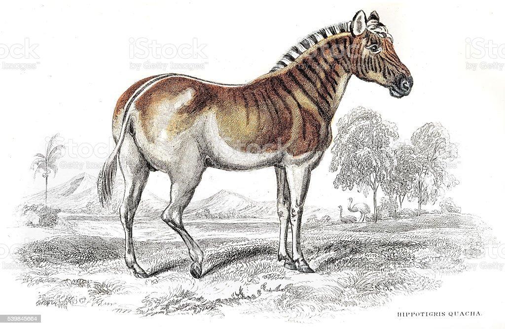 Quagga Zebra extinct engraving 1841 vector art illustration