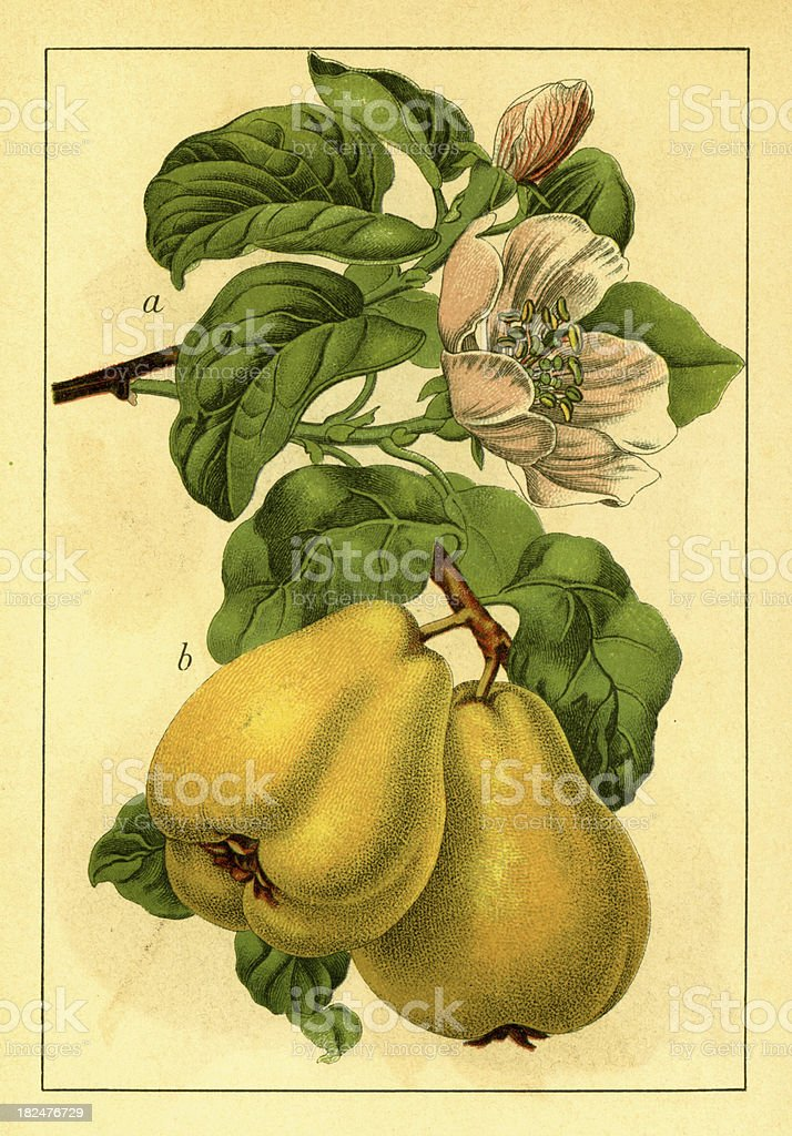 Quince | Antique Flower Illustrations royalty-free stock vector art