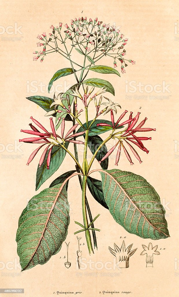 Quinquina for treating malaria , 19 century botanical illustration vector art illustration