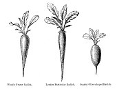 Radish vegetable engraving 1874
