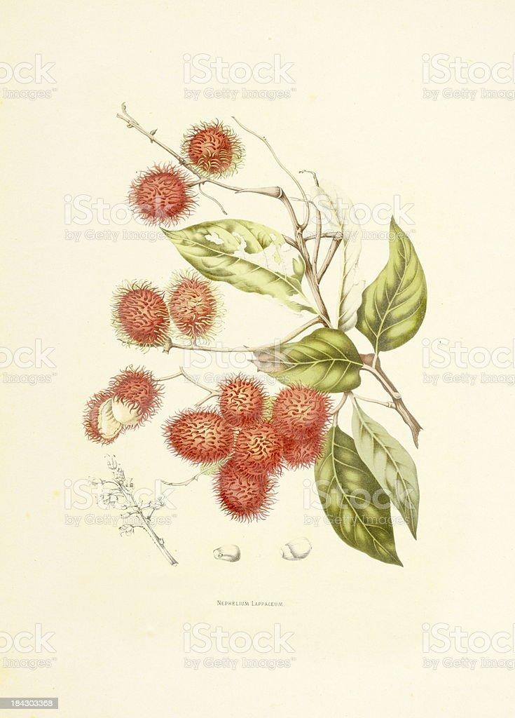 Rambutan | Antique Plant Illustrations vector art illustration