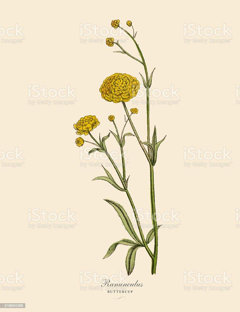 Ranunculus or Buttercup Plants, Victorian Botanical Illustration vector art illustration
