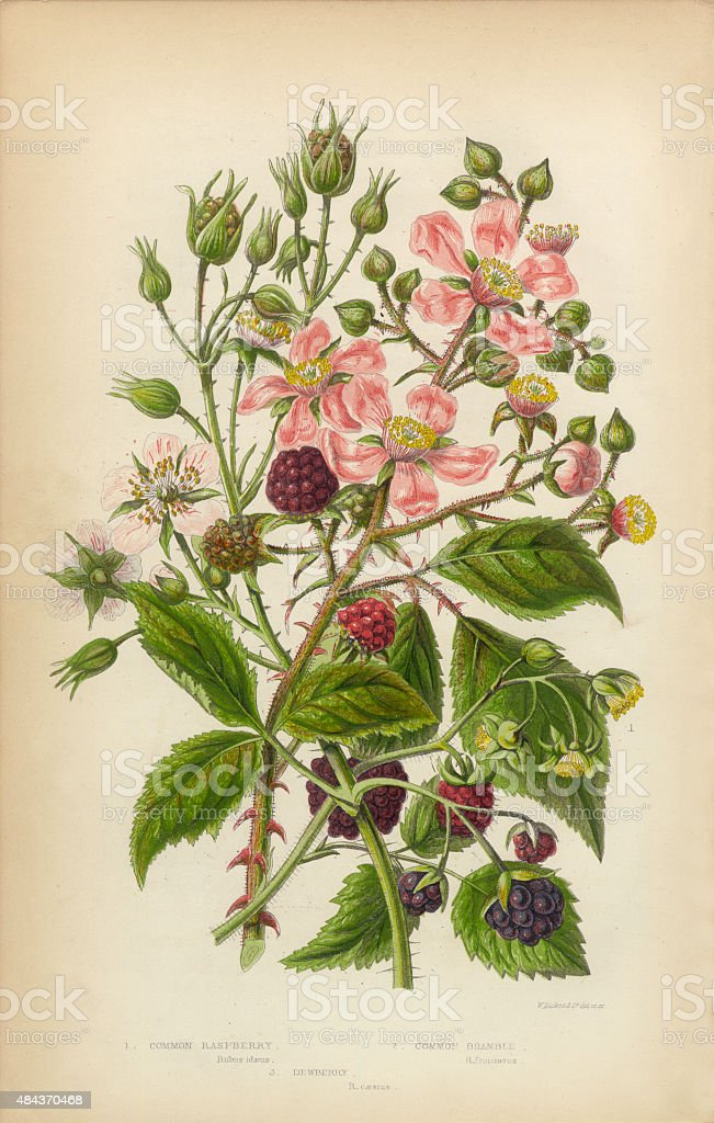 Raspberry Dewberry and Bramble, Victorian Botanical Illustration vector art illustration