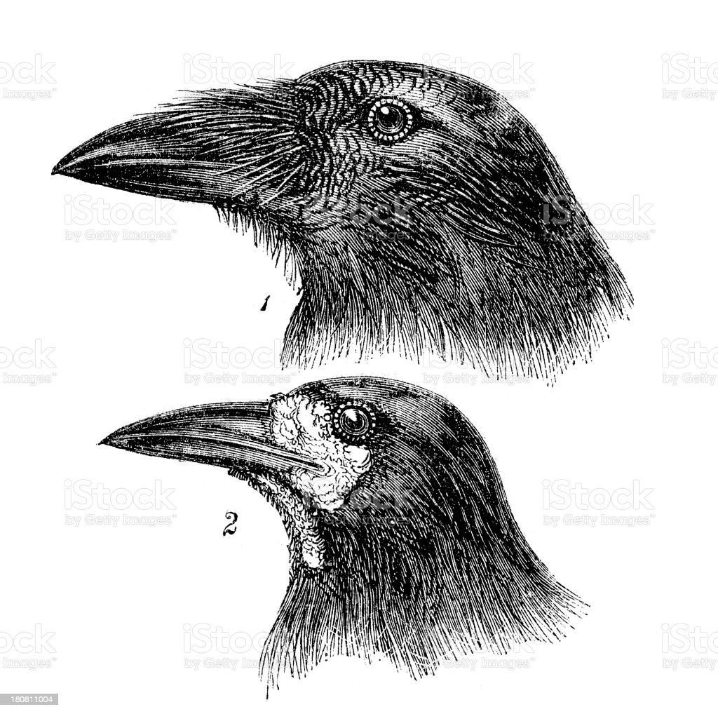 Raven and Rook royalty-free stock vector art