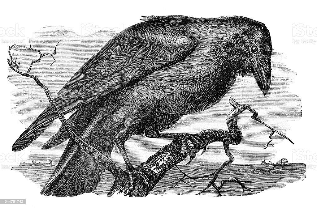 Raven corvus illustration 1881 stock photo