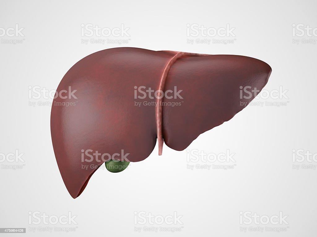 Realistic human liver illustration vector art illustration