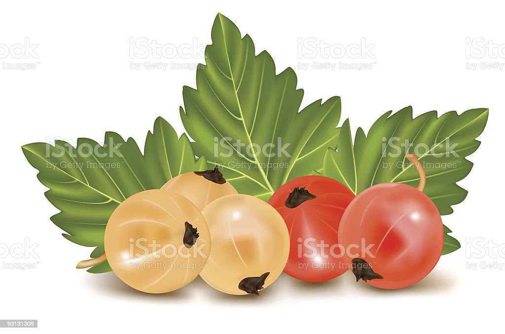 Red and white currant. royalty-free stock vector art