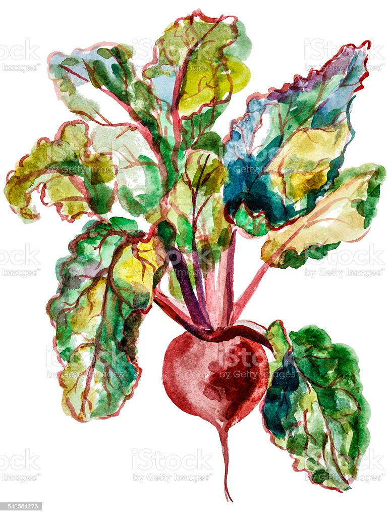 Red beet watercolor vector art illustration