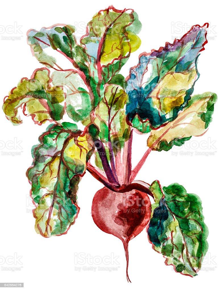 Red beet watercolor vector art illustration