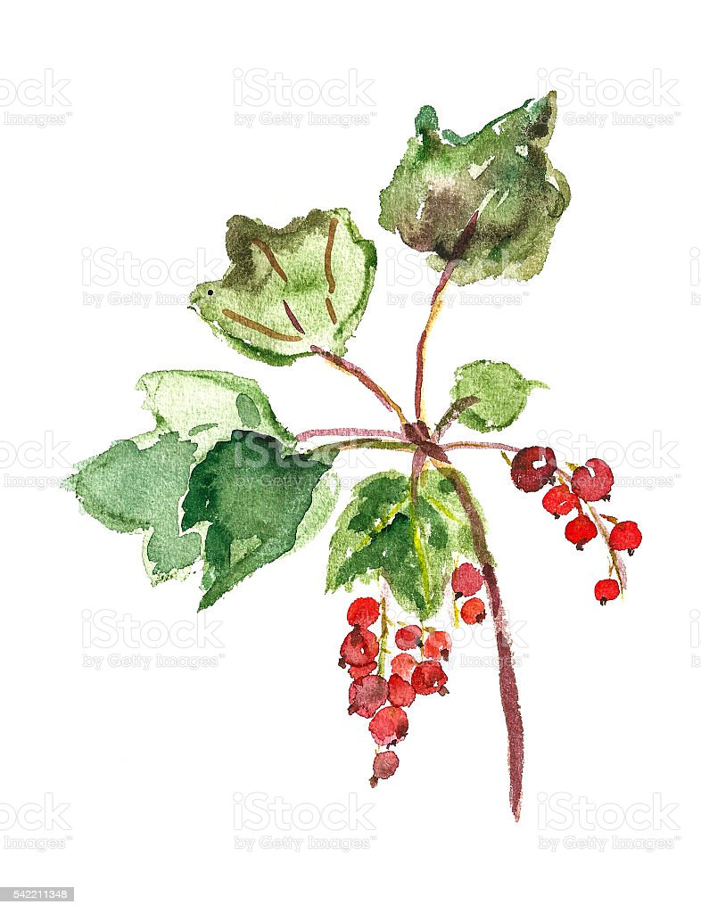 red currant vector art illustration