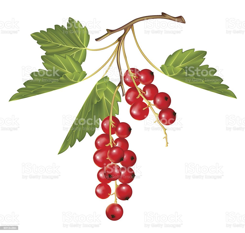 Red currant royalty-free stock vector art