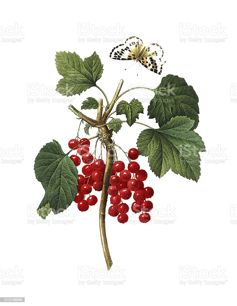 Red currant   Redoute Flower Illustrations vector art illustration