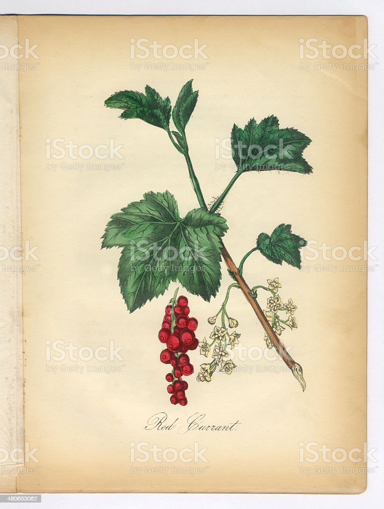 Red Currant Victorian Botanical Illustration vector art illustration