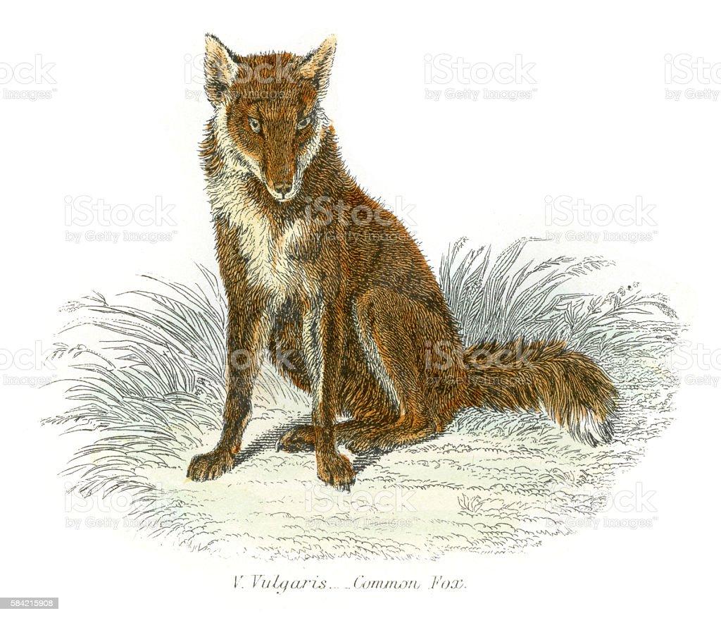 Red fox engraving 1869 vector art illustration