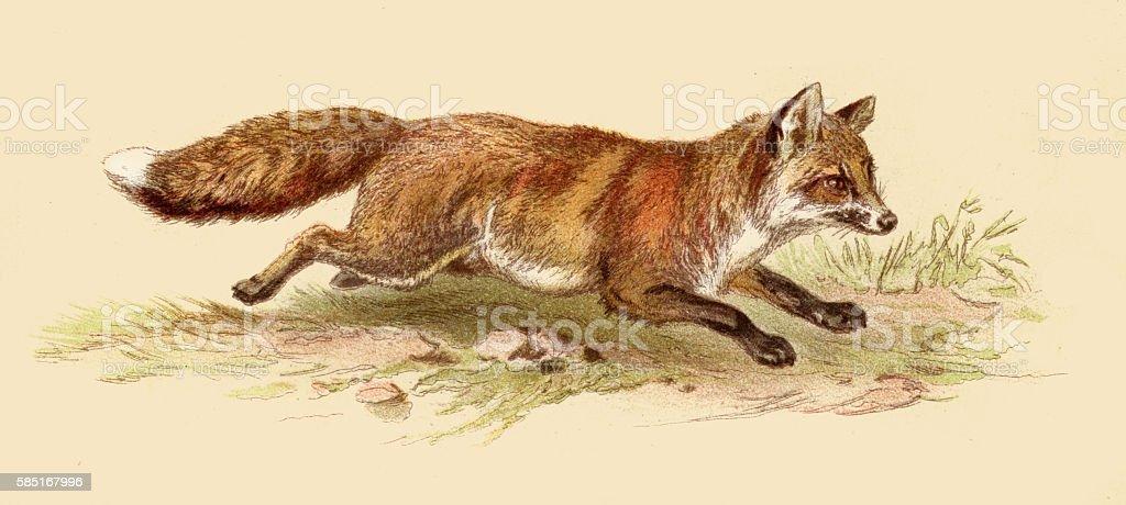 Red fox illustration 1888 vector art illustration