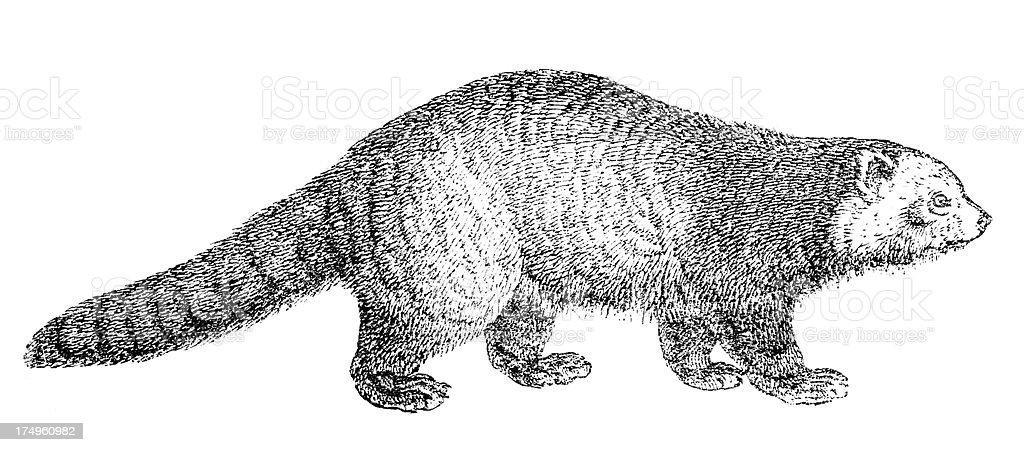 Red panda royalty-free stock vector art