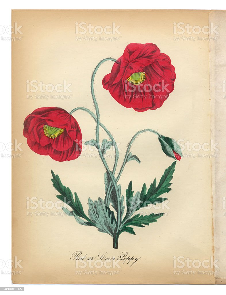 Red Poppy and Corn Poppy Victorian Botanical Illustration vector art illustration