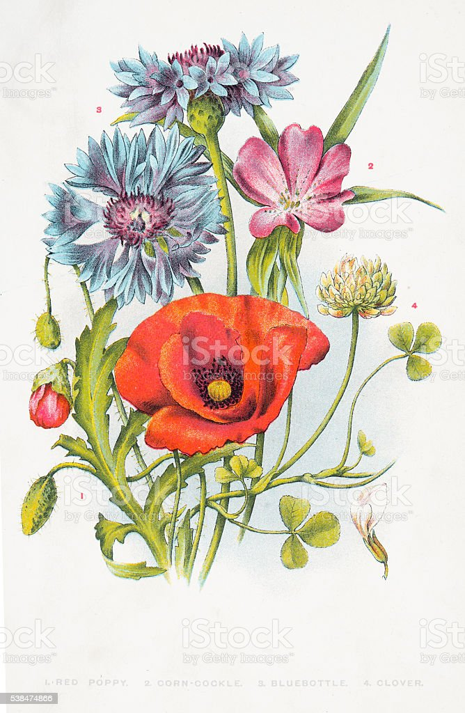 Red poppy and other wild flowers vector art illustration