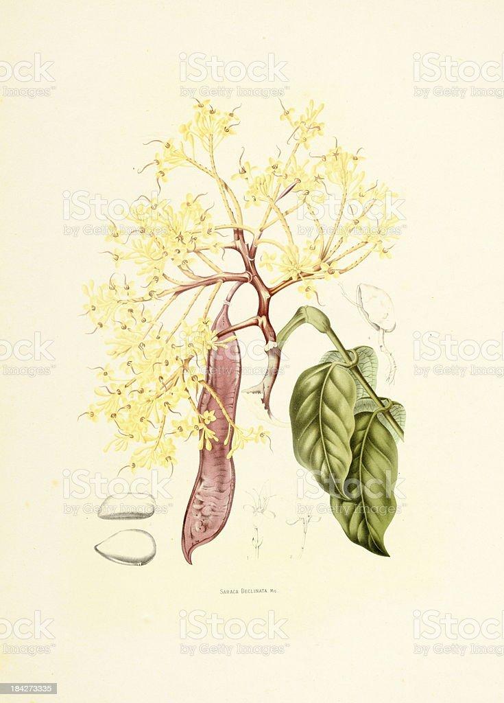 Red saraca | Antique Plant Illustrations vector art illustration