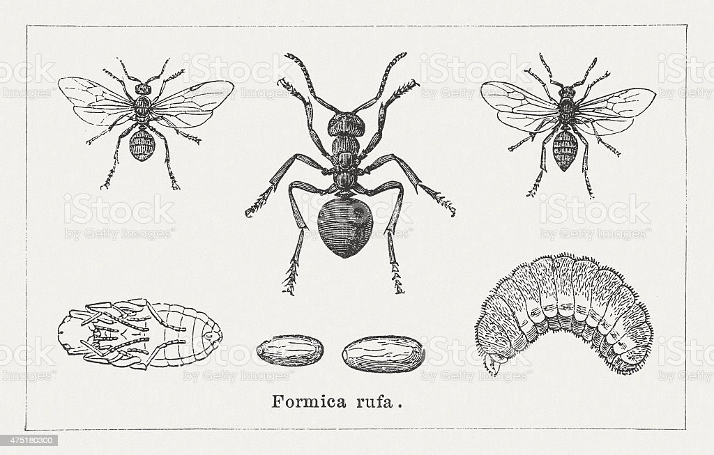 Red wood ant, wood engravings, published in 1876 vector art illustration