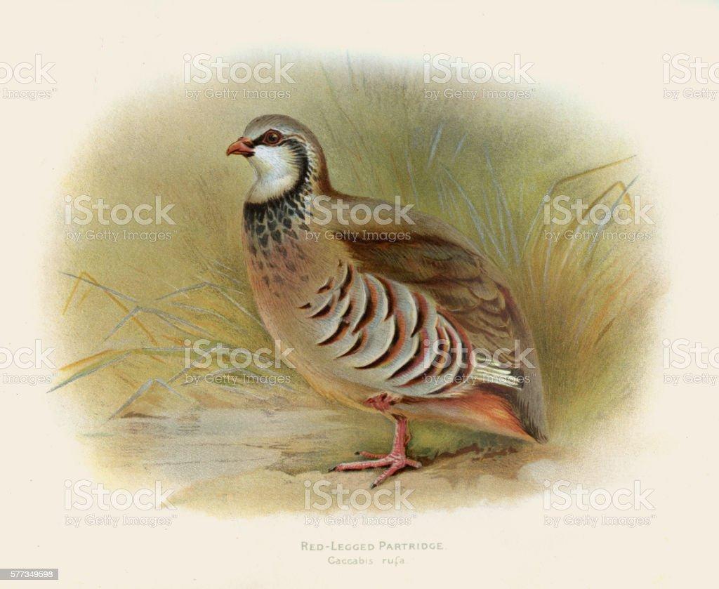 Red-legged partridge illustration 1900 vector art illustration