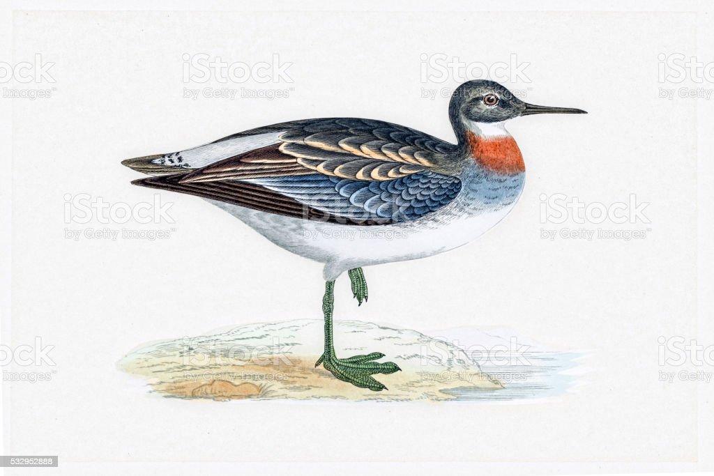Red-necked phalarope migratory shorebird breeding in Arctics vector art illustration
