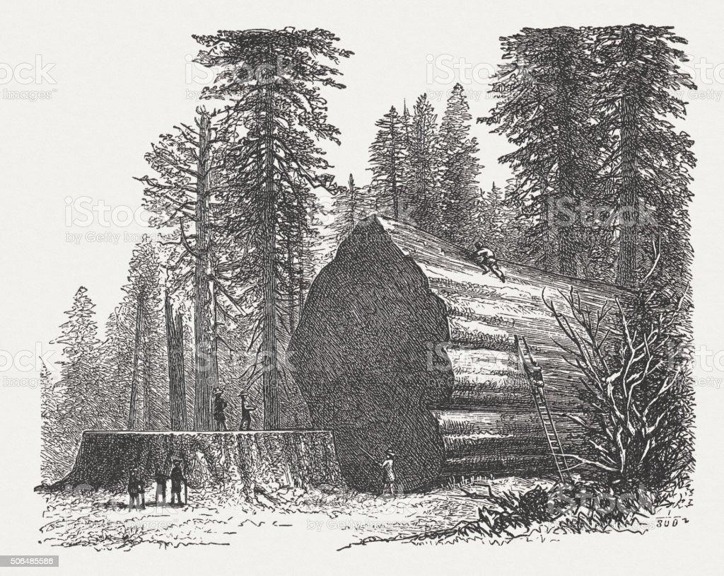Redwoods, wood engraving, published in 1882 vector art illustration