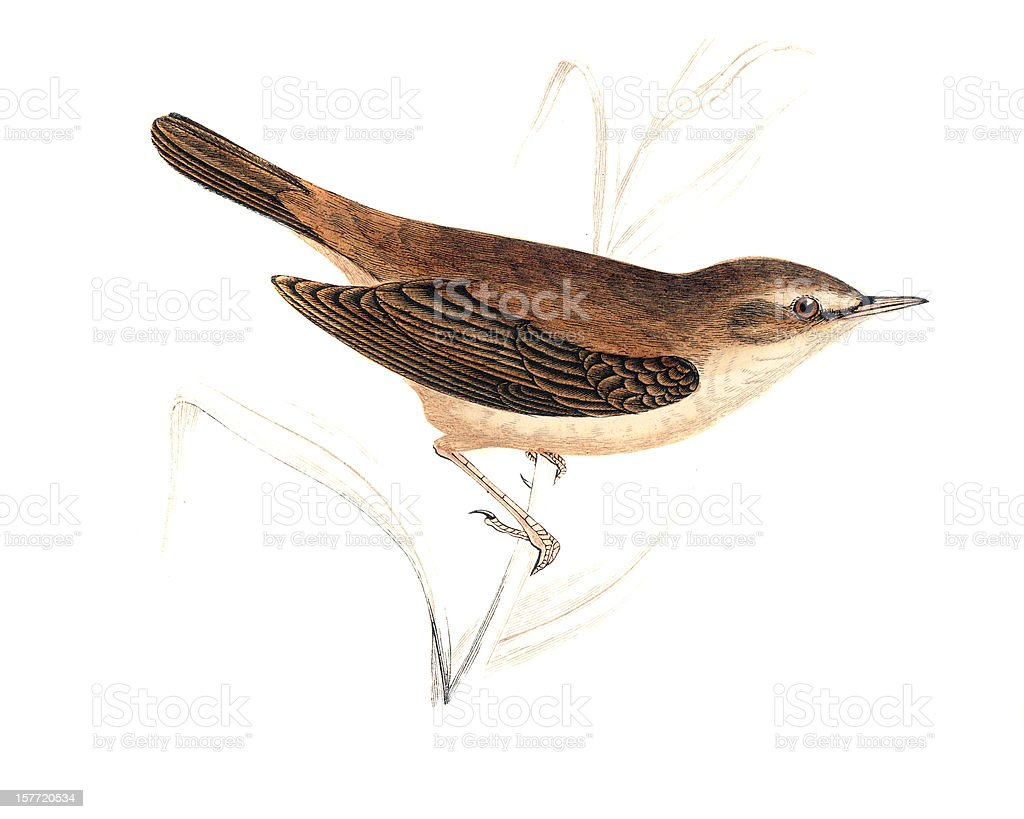 Reed Warbler - Hand Coloured Engraving royalty-free stock vector art