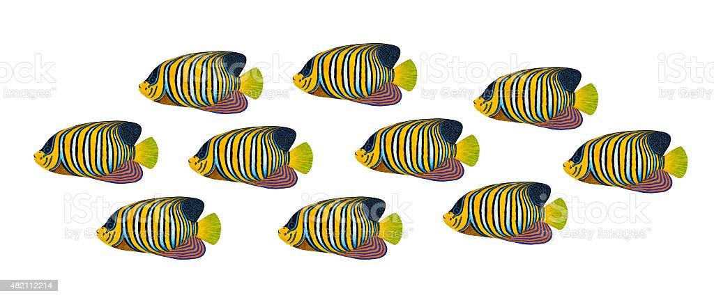 Regal Angelfish vector art illustration
