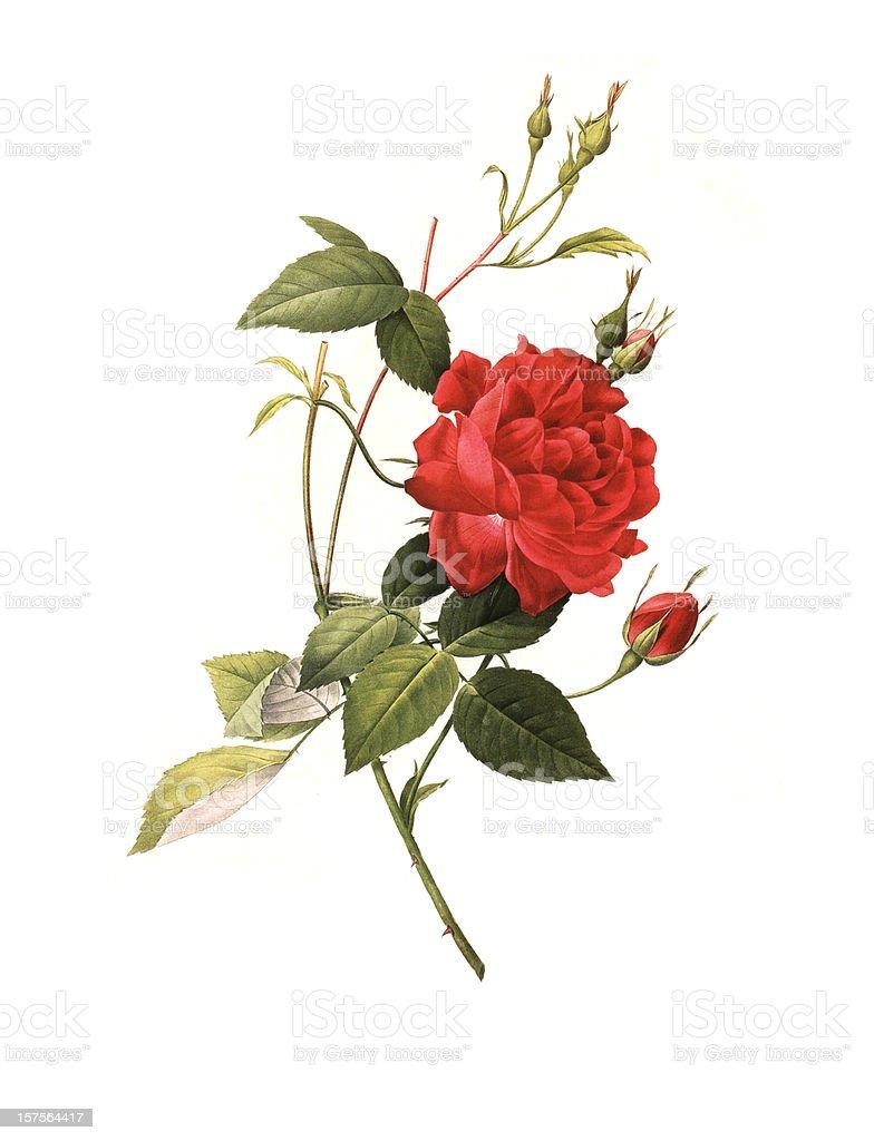 XXXL Resolution Rose | Antique Flower Illustrations vector art illustration