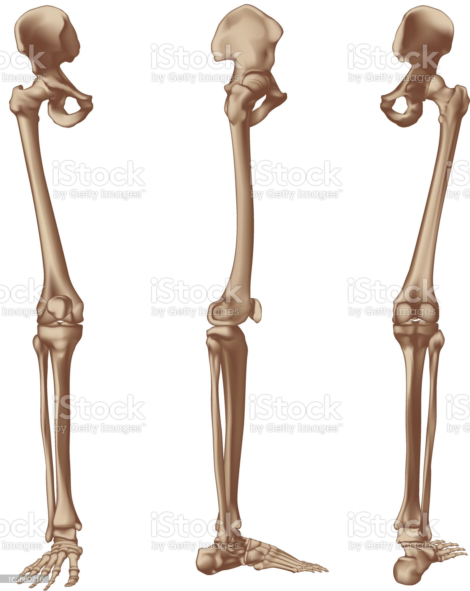 Right leg bones royalty-free stock vector art