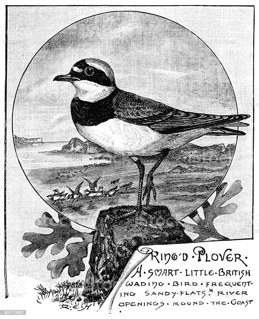 Ringed plover - Victorian illustration vector art illustration