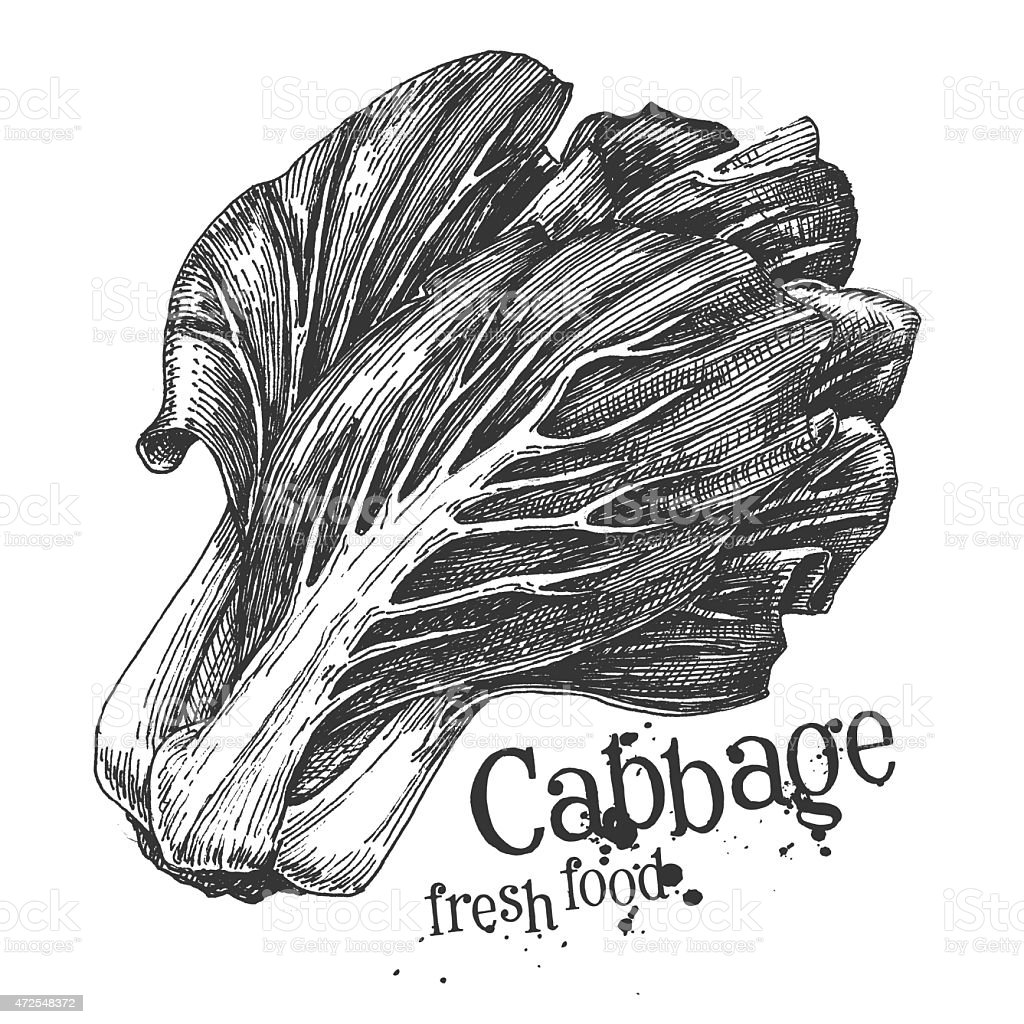 ripe cabbage on a white background. sketch vector art illustration