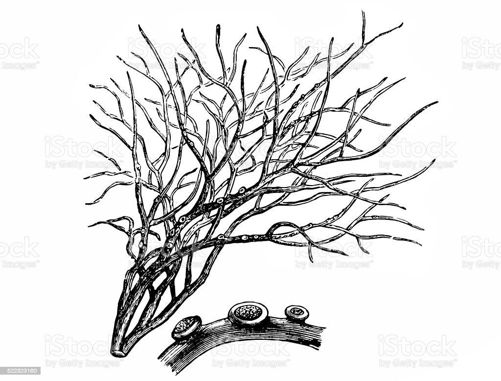 Roccella tinctoria vector art illustration