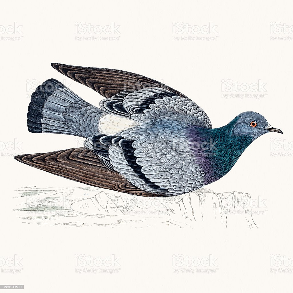 Rock dove bird vector art illustration