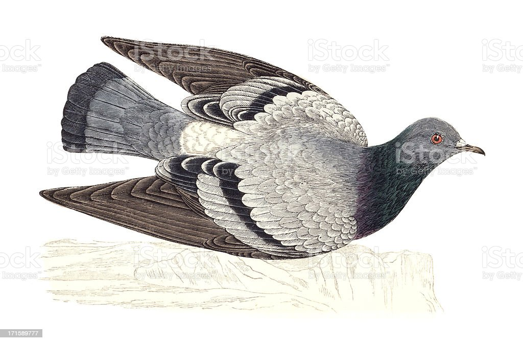 Rock Dove - Hand Coloured Engraving royalty-free stock vector art
