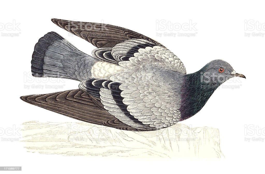 Rock Dove - Hand Coloured Engraving vector art illustration